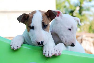 Cuidados diarios Bull Terrier