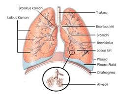 Paru paru pada manusia