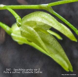 Pleurothallis grobyi,  Pleurothallis surinamensis, Pleurothallis marginalis, Pleurothallis perplexa.