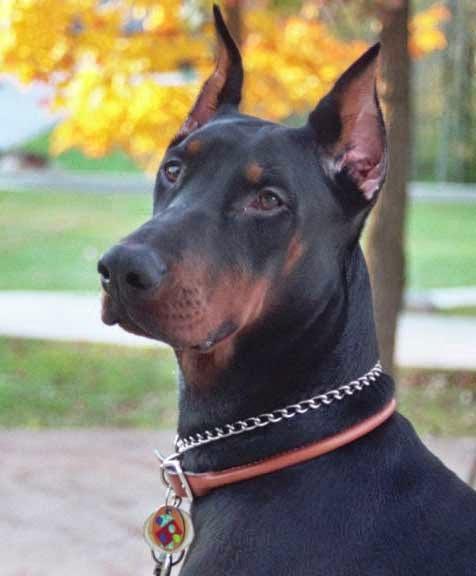 رأس كلب دوبر مان واضحة جدا مع الأذن
