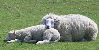 sleep, sheep, tired