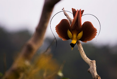 Birds Of Paradise Birds Picture