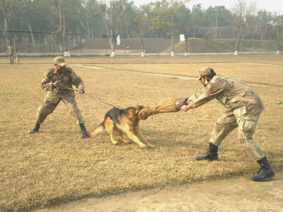German Shepherd Dog Pak Army Dogs