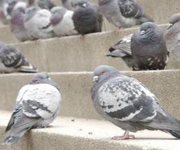 Foto Homing Pigeon