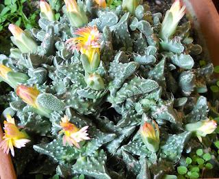 flores del cactus faucaria tigrina