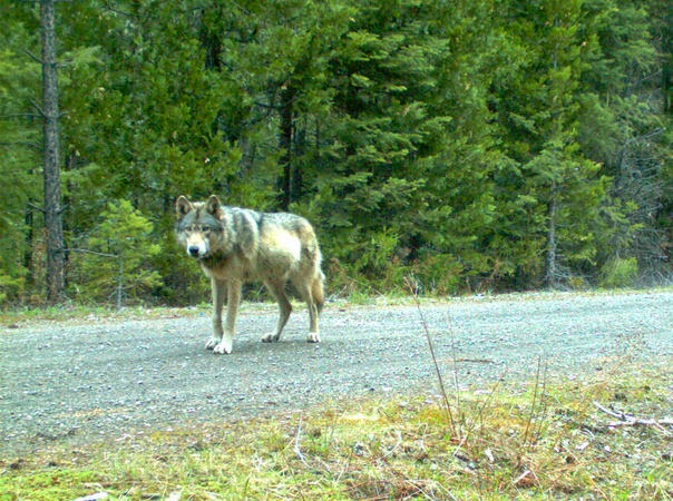 Oregon wolf OR-7 appears to have found a mate after 3-year journey (Video)