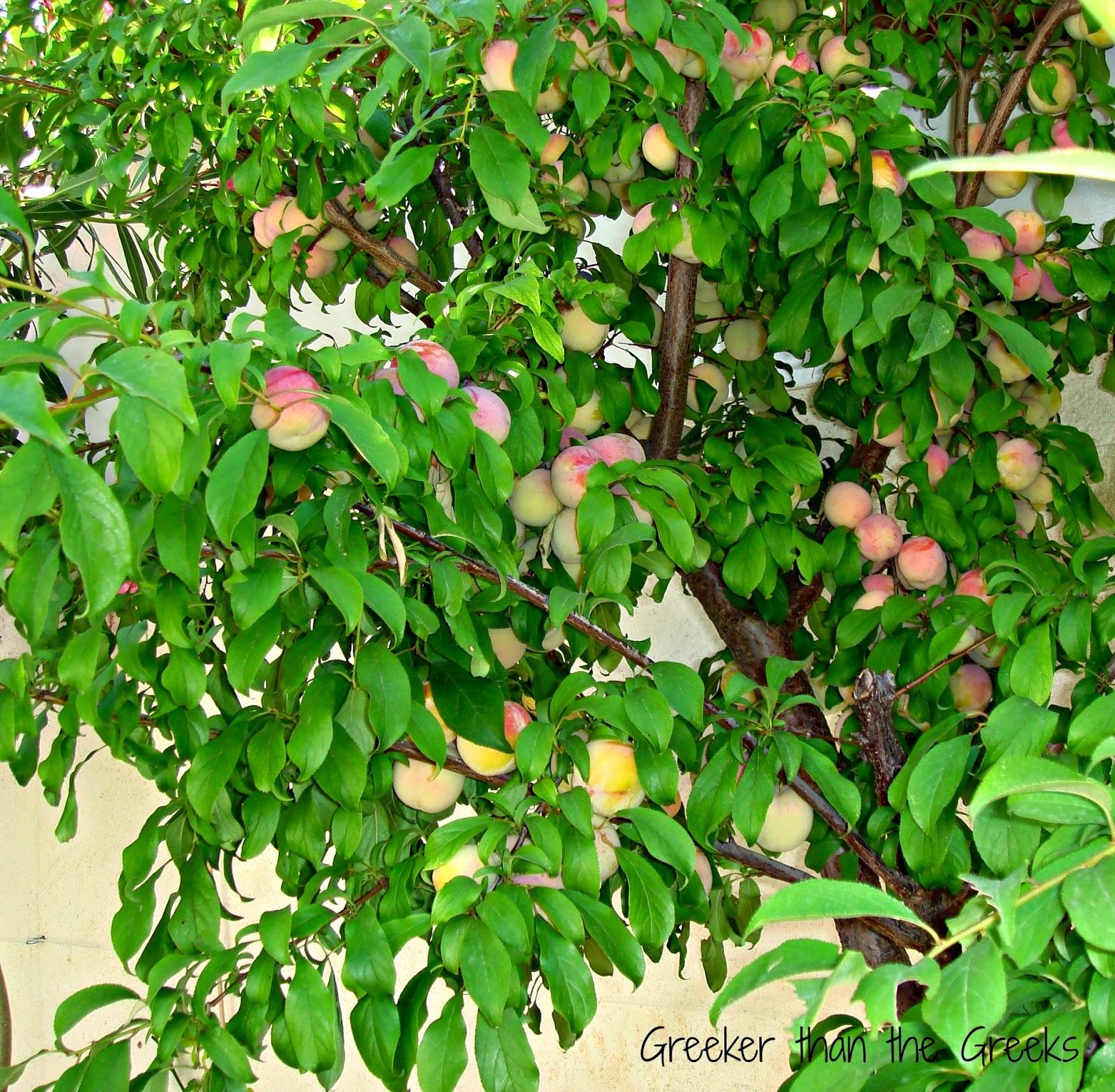 """Olympic plum"" tree"