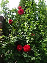 De rozenstruik