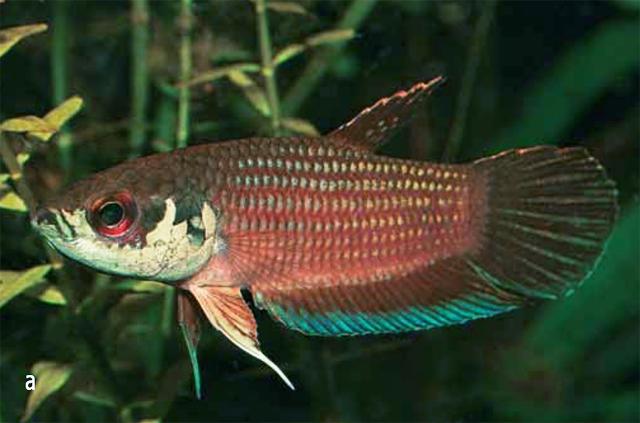 ปลากัดอมไข่ Betta kuehnei (2008)