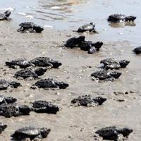 crías de tortuga marina rumbo al mar