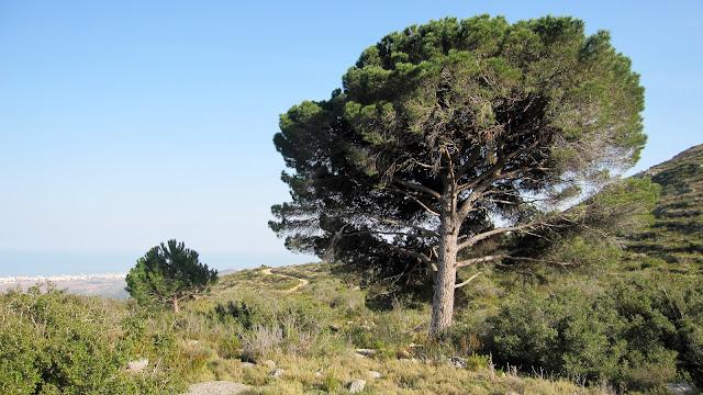 Pi pinyoner del corral de l'Obreret, Mondúver