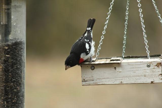male grosbeak offering a bow