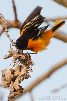 Baltimore Oriole. Photo © Shelley Banks, all rights reserved.