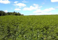 Plantação de maconha estimada em US$ 205 milhões é destruída nos EUA