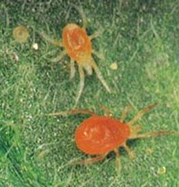 red spider mite, two spotted spider mites, pest spider mites