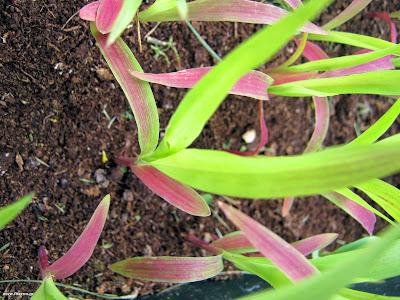 Σόργο: σπορά φύτεμα καλλιέργεια