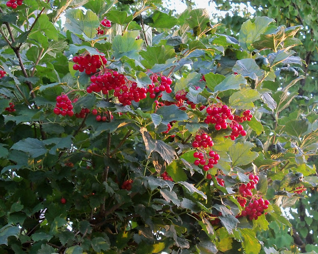 Kalyna Highbush Cranberry is Ukrainian symbol