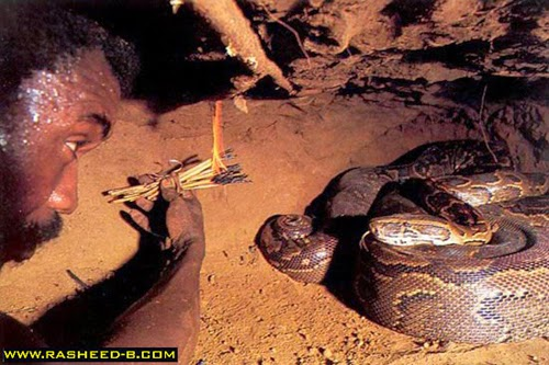 شاهد بالصور: كيف يتم صيد الأفاعي والثعابين !! .. مرعب جدا
