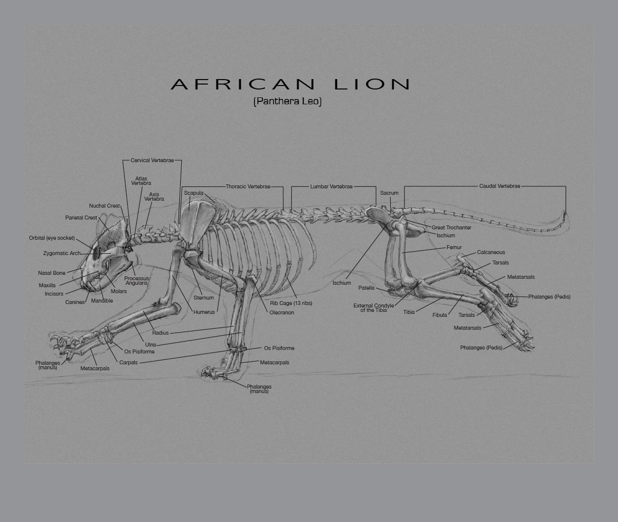 AfricanLion_Bones_JKT lion skull diagram
