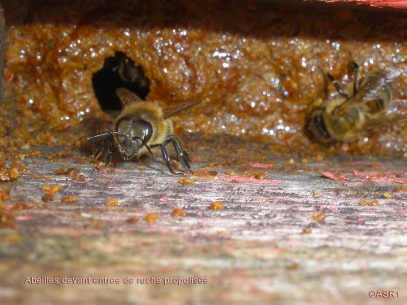 abeilles devant entrée de ruche propolisée