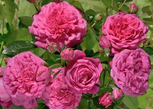 Laguna rose сорт розы купить фото