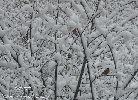 Elena Baranoff - Snow and Birds - Elena Vladimir Baranoff - Russian Winter Lanscape -  Artist Elena V. Baranoff - Master Elena Baranoff - Elena V. Baranoff Trip To Russia