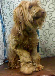 Haircut badly needed for poodle girl in a Southern CA kill shelter