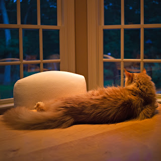 Cooper, a Maine Coon Cat, relaxed and alert and utterly misbehaving
