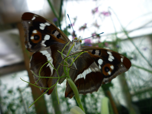 Underside of a Purple Emperor via lovebirds vintage