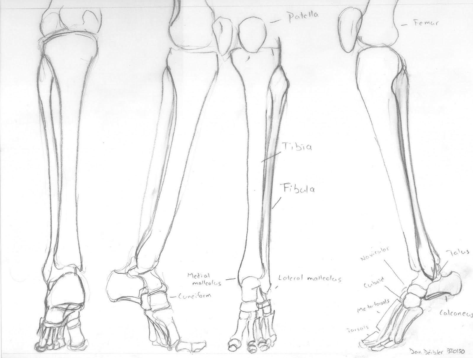 Skeletal anatomy foot