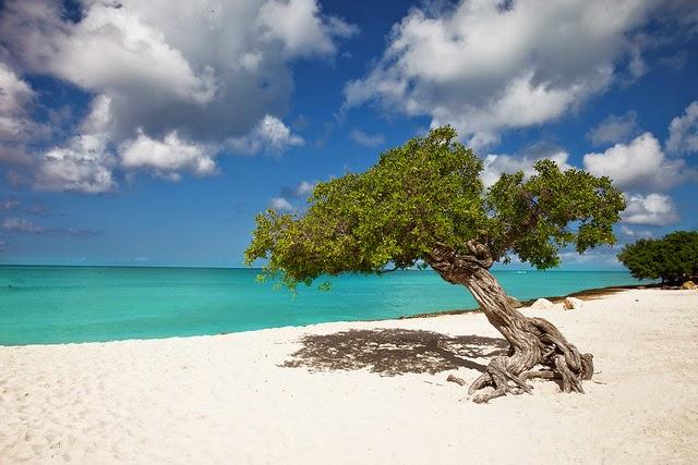 Aruba divi tree