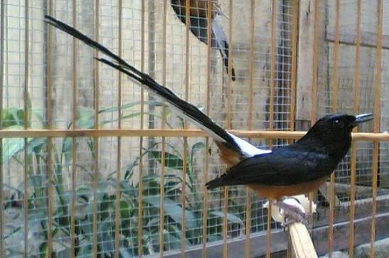 mengatasi suara yang serak pada burung terlebih pada burung murai batu ...