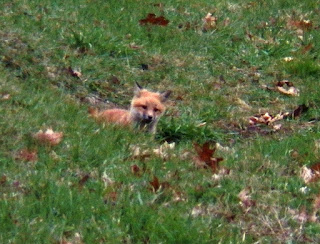 Red Fox (Vulpes vulpes) Kits (not in my yard)