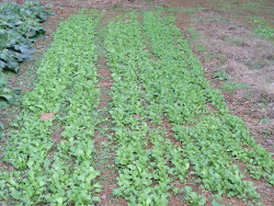 Three Beds of Turnips
