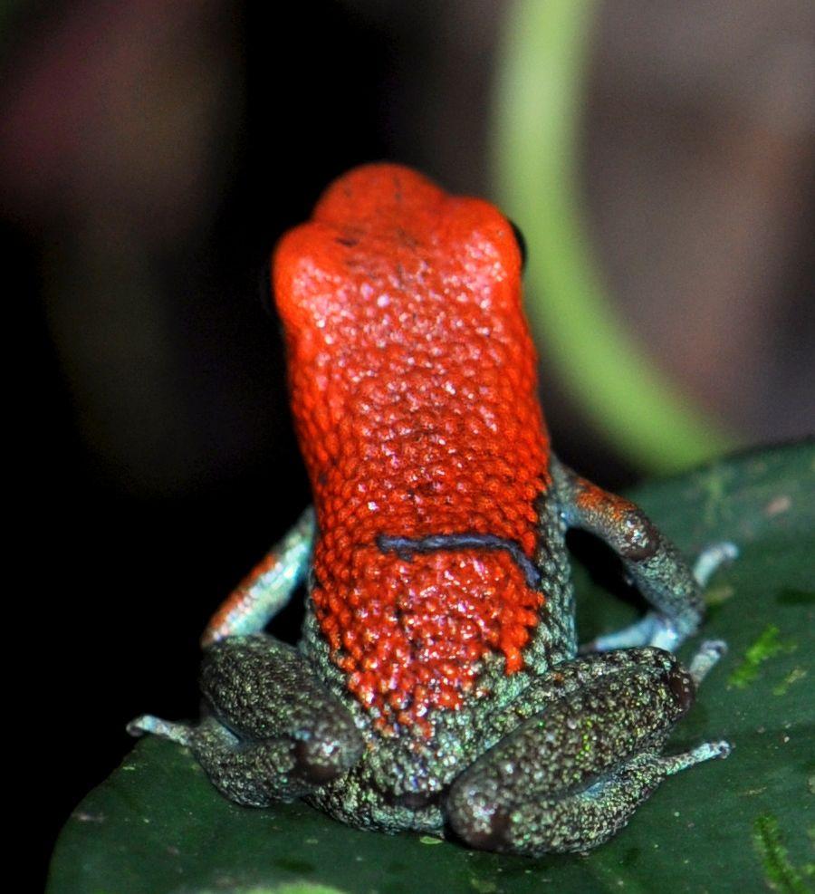 Granular Poison Frog © Laetitia Viriot