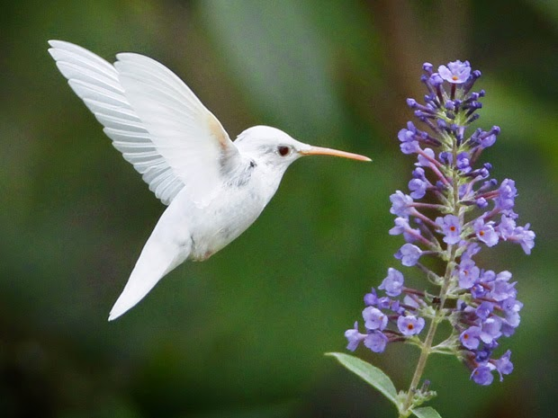 Assim Como colibri conhecido beija flor