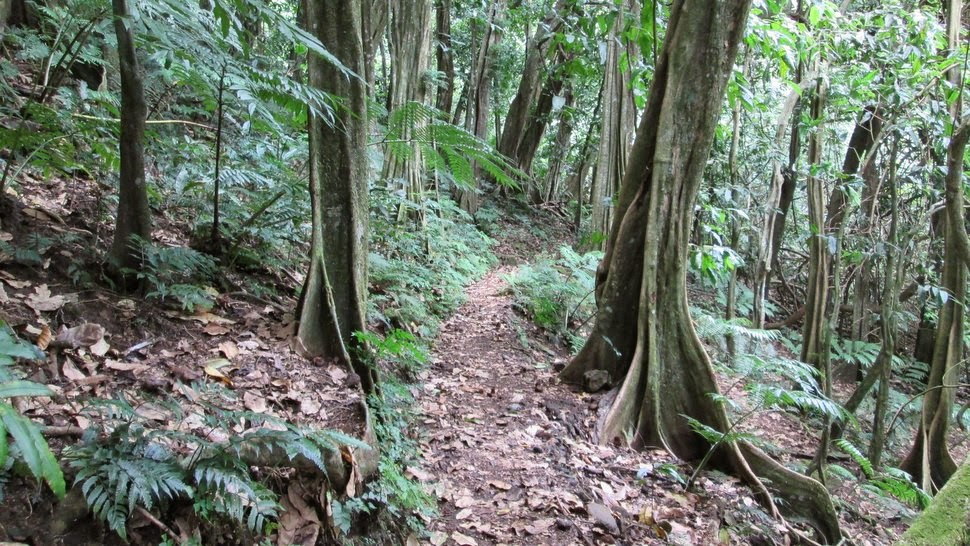 Sentier dans la forêt de mape Opunohu