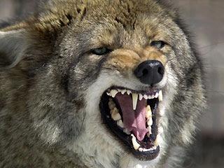 Coyote Attacks