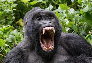 gorila buas