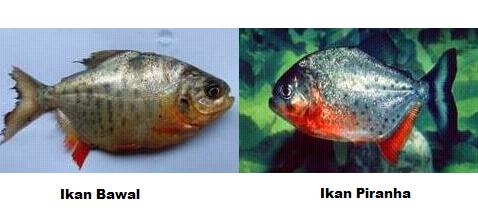 Perbedaan Ikan Bawal Dan Piranha Dari Bentuk Tubuh