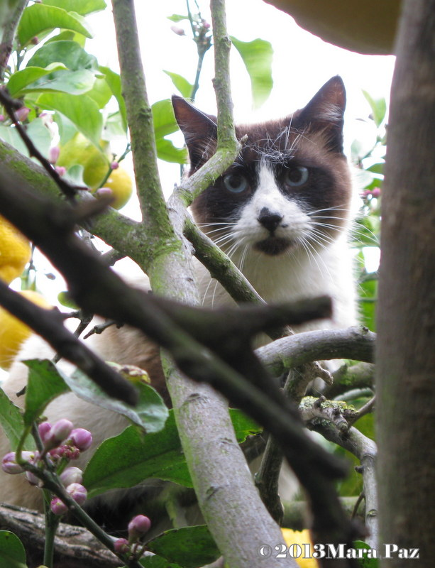 cat taking refuge in a lemon tree