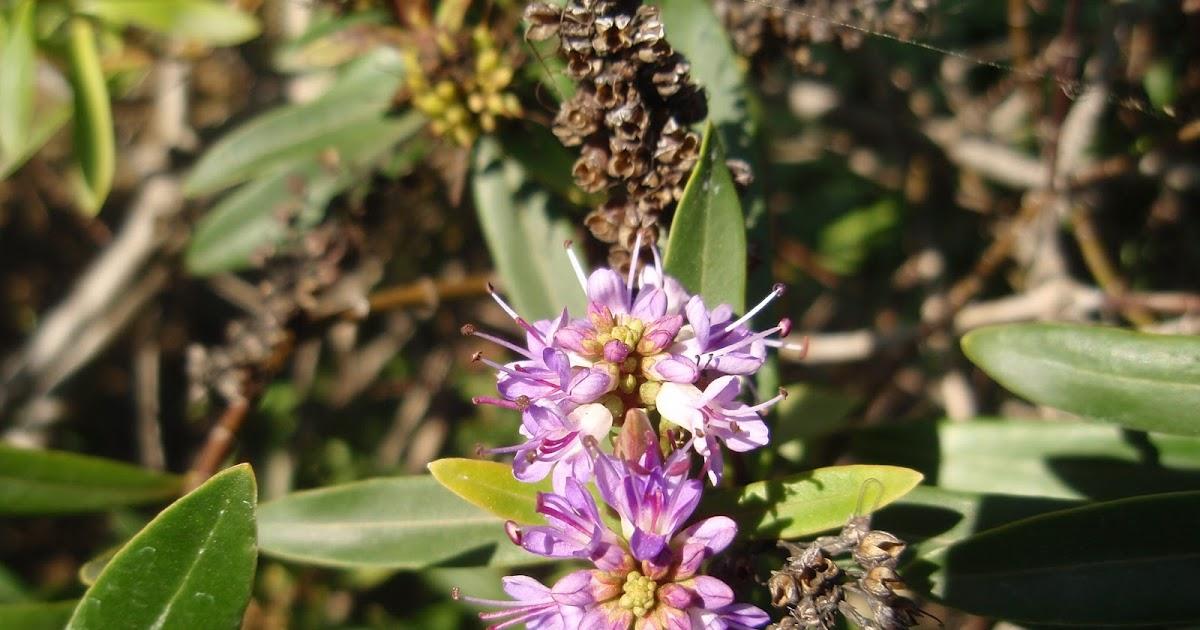 Hebe hebe x andersonii plantas riomoros for Hebe arbusto