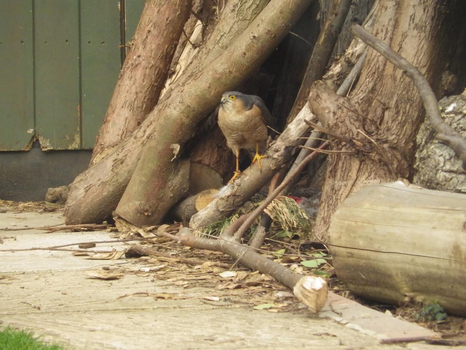 Ben\'s Birds and Beastly Bugs: Sparrow Hawk in my garden!