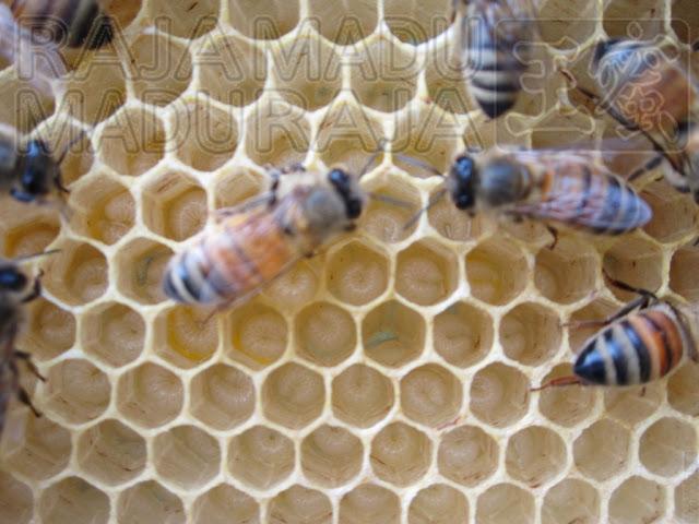 Larva Lebah Raja Madu Madu Raja: