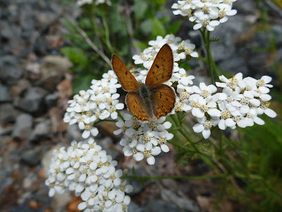 Lycaena nivalis - Lilac-Bordered Copper on Achillea millefolium - Yarrow