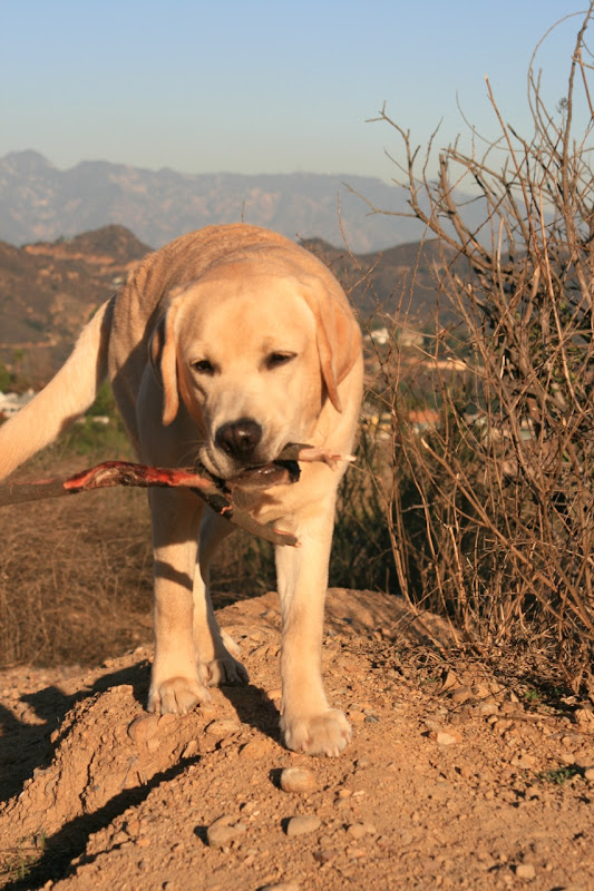 Labrador pup Cooper Runyon Canyon