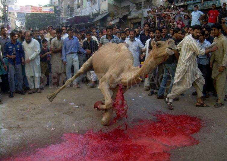 Camel Qurbani Karachi http://blogs.tribune.com.pk/story/14497/please-don%e2%80%99t-kill-my-goat-or-camel-ii/