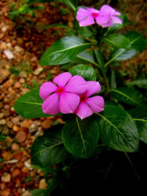 Rosy Periwinkle or Ushamalari  (Catharanthus roseum)