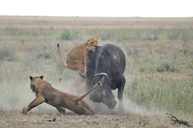 grandes felinos caçando