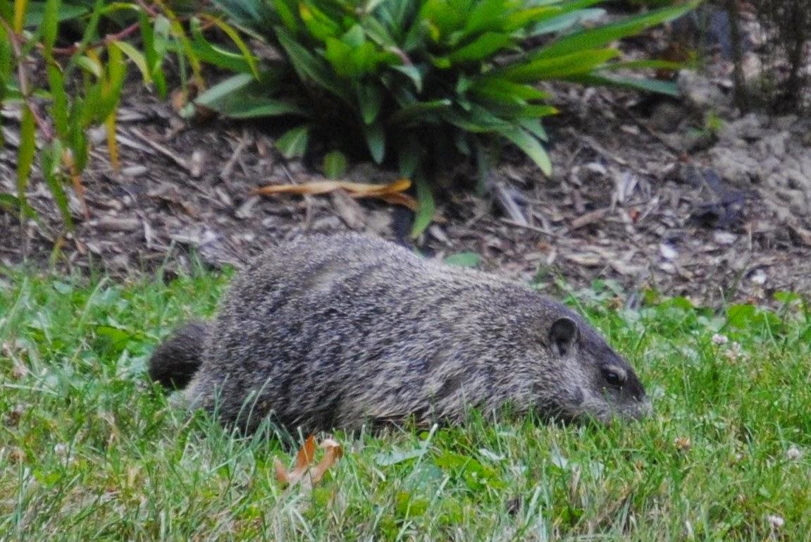 groundhog on log
